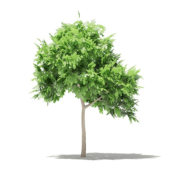 Common Fig Tree 3D Model 1.4m