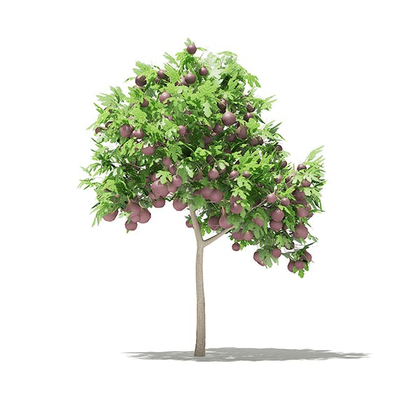 Common Fig Tree with Fruits 3D Model 1.4m - 3DOcean Item for Sale
