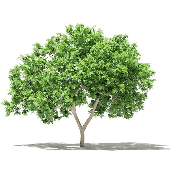 Common Fig Tree 3D Model 2.4m