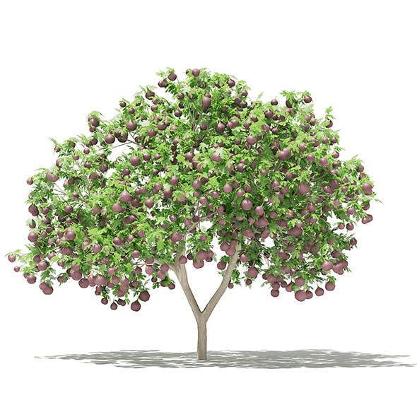 Common Fig Tree with Fruits 3D Model 2.4m - 3DOcean Item for Sale