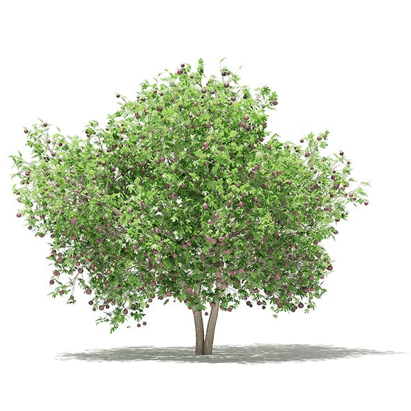 Common Fig Tree with Fruits 3D Model 3.4m - 3DOcean Item for Sale