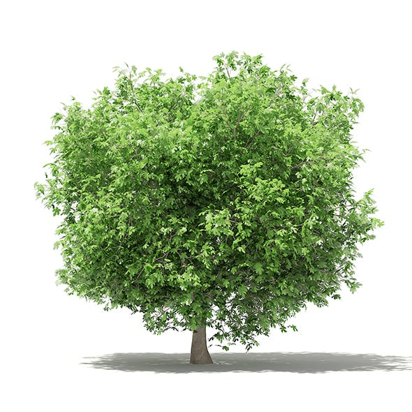 Common Fig Tree 3D Model 3.3m - 3DOcean Item for Sale