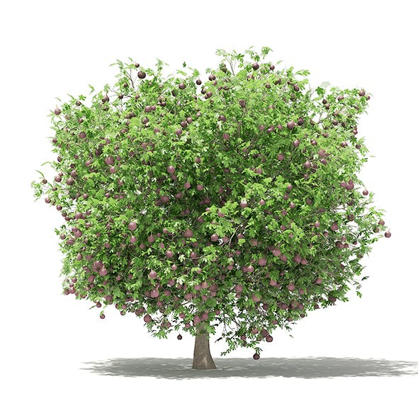 Common Fig Tree with Fruits 3D Model 3.3m - 3DOcean Item for Sale