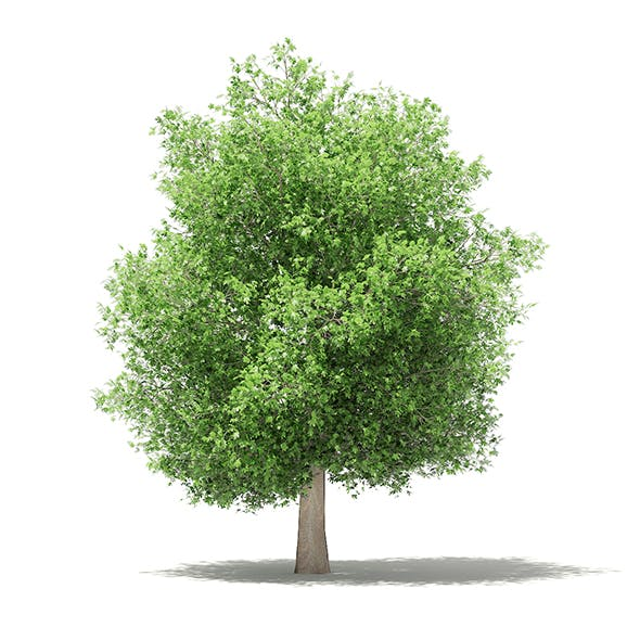 Common Fig Tree 3D Model 6.6m - 3DOcean Item for Sale