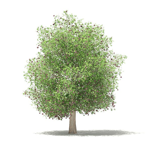 Common Fig Tree with Fruits 3D Model 6.6m - 3DOcean Item for Sale
