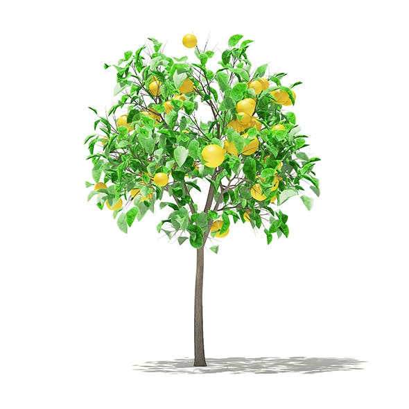 Grapefruit Tree with Fruits 3D Model 1.3m - 3DOcean Item for Sale