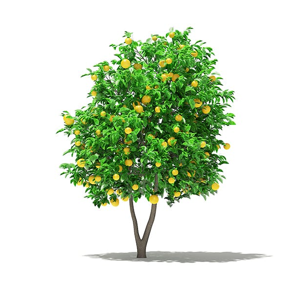 Grapefruit Tree with Fruits 3D Model 2.7m - 3DOcean Item for Sale