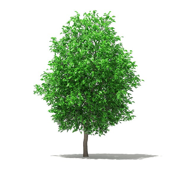 Grapefruit Tree 3D Model 5.8m - 3DOcean Item for Sale