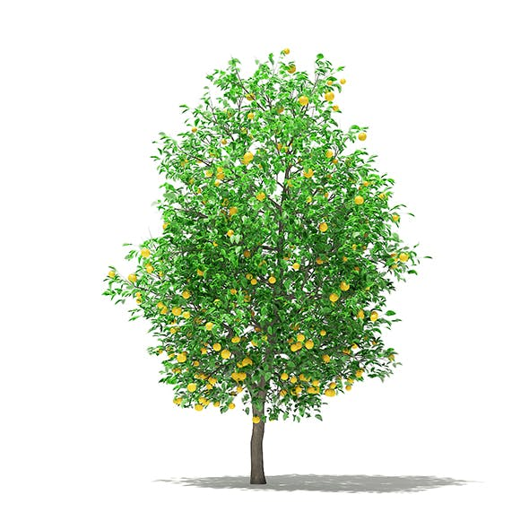 Grapefruit Tree with Fruits 3D Model 5.8m - 3DOcean Item for Sale