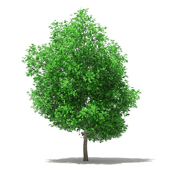 Grapefruit Tree 3D Model  5.6m - 3DOcean Item for Sale