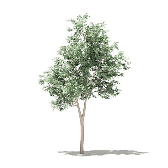 Olive Tree 3D Model 1.8m