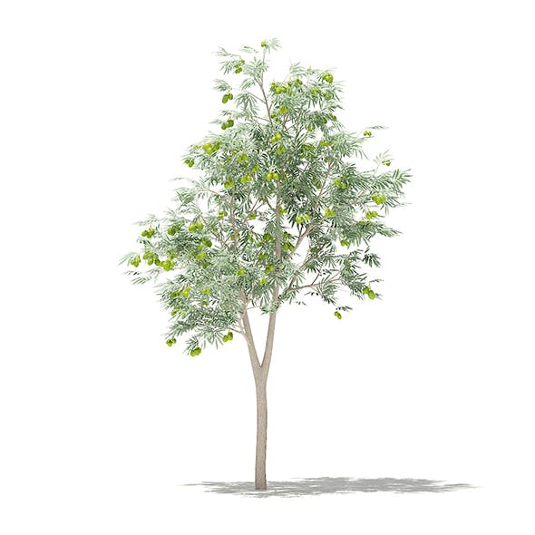 Olive Tree with Fruits 3D Model 1.8m