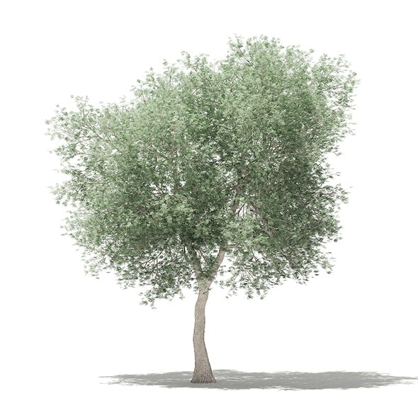 Olive Tree 3D Model 6m