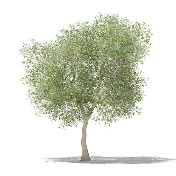 Olive Tree with Fruits 3D Model 6m