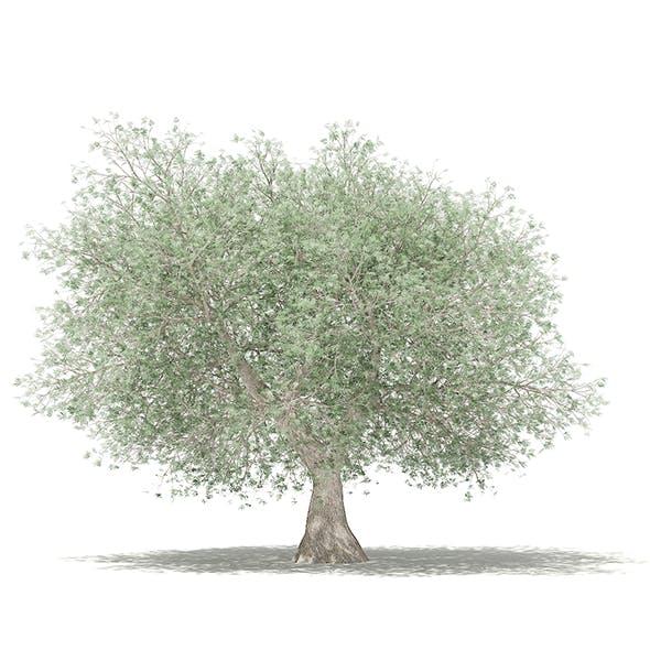 Olive Tree 3D Model 4.6m