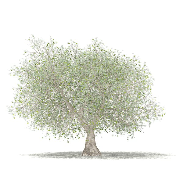 Olive Tree with Fruits 3D Model 4.6m
