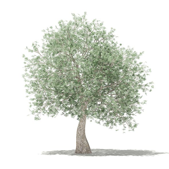 Olive Tree 3D Model 3.9m