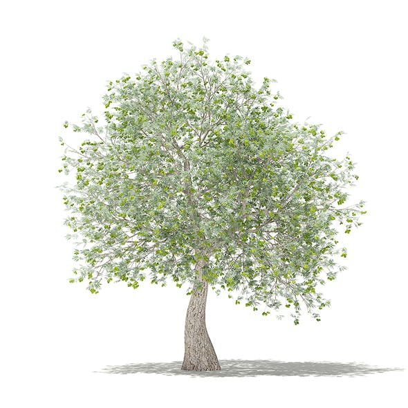 Olive Tree with Fruits 3D Model 3.9m - 3DOcean Item for Sale