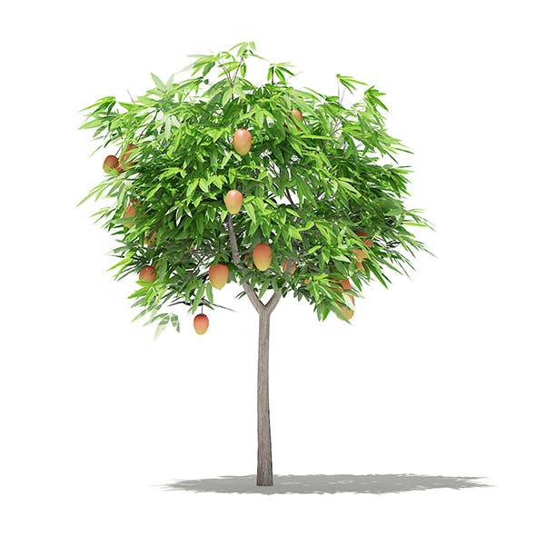 Mango Tree with Fruits 3D Model 1.7m