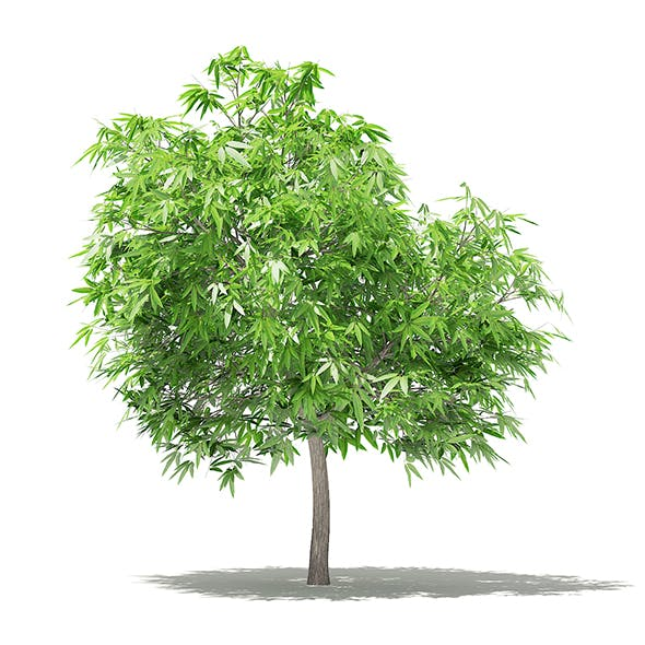 Mango Tree 3D Model 2.6m