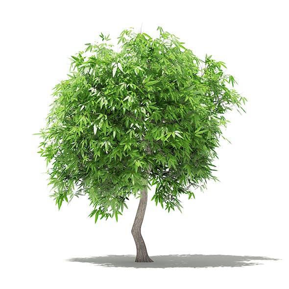 Mango Tree 3D Model 2.7m