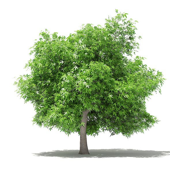 Mango Tree 3D Model 4.8m
