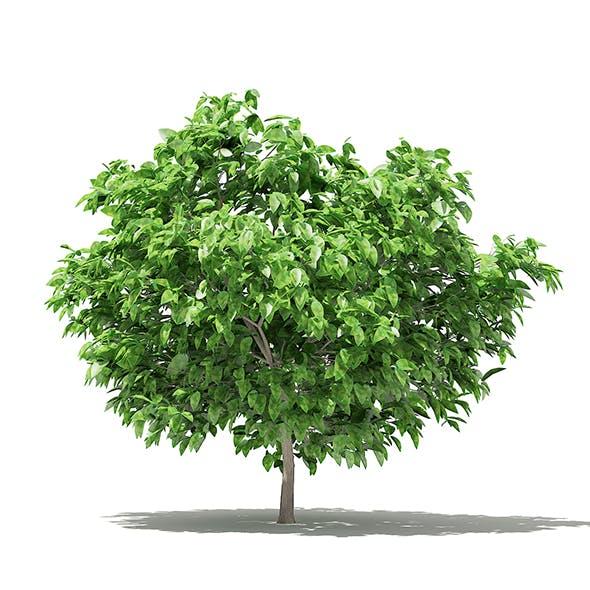 Pomelo Tree 3D Model 1.7m