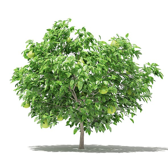 Pomelo Tree with Fruits 3D Model 1.7m