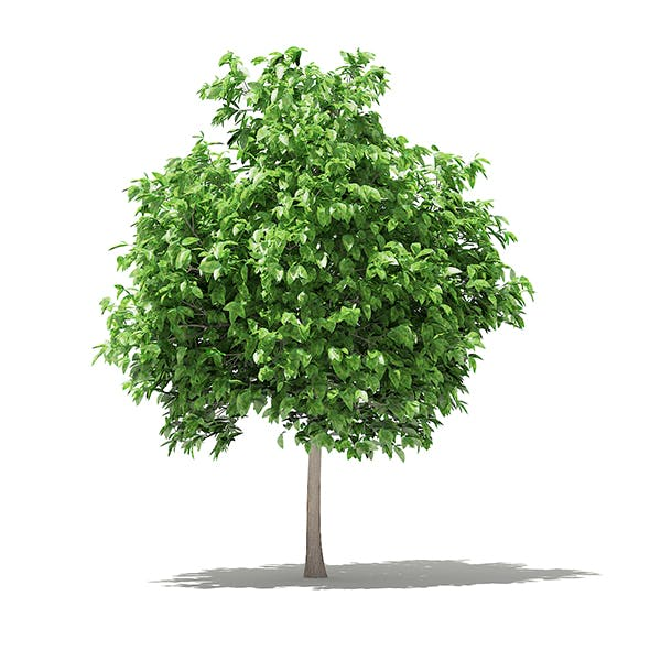 Pomelo Tree 3D Model 2.6m - 3DOcean Item for Sale
