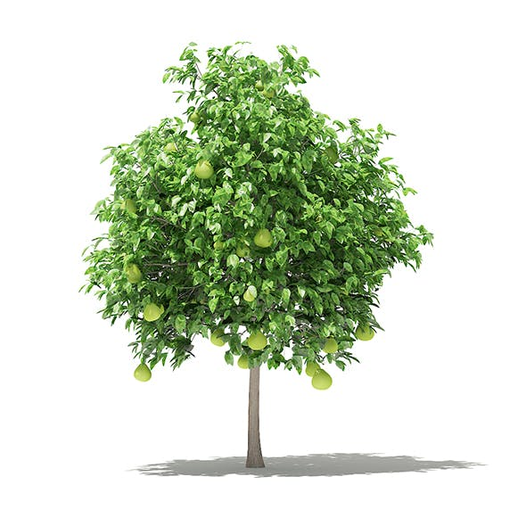Pomelo Tree with Fruits 3D Model 2.6m