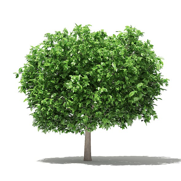Pomelo Tree 3D Model 3.6m - 3DOcean Item for Sale