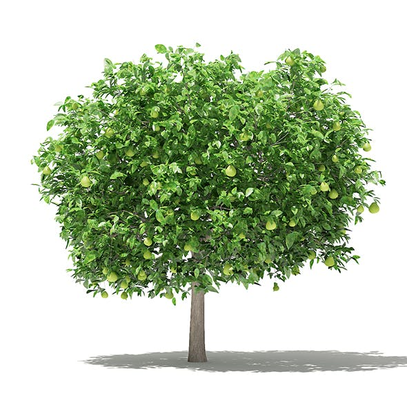 Pomelo Tree with Fruits 3D Model 3.6m