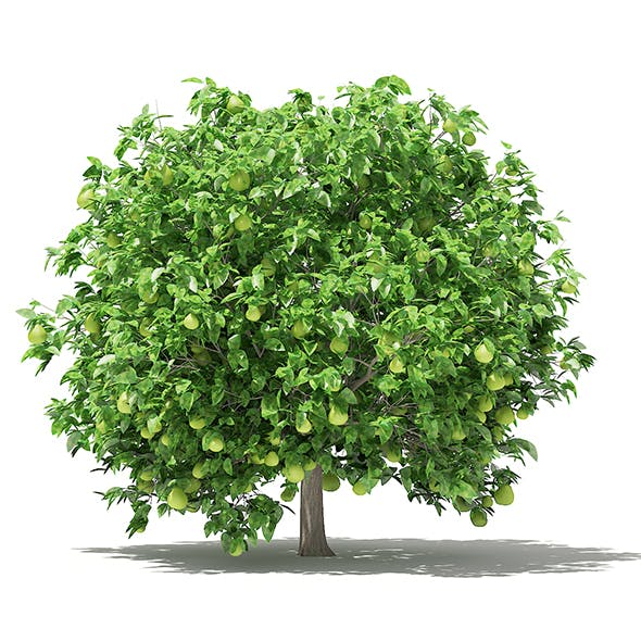 Pomelo Tree with Fruits 3D Model 2.8m
