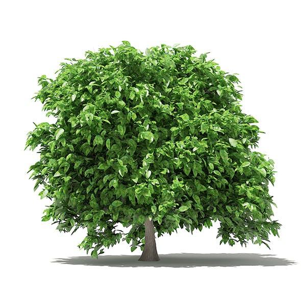 Pomelo Tree 3D Model 2.4m