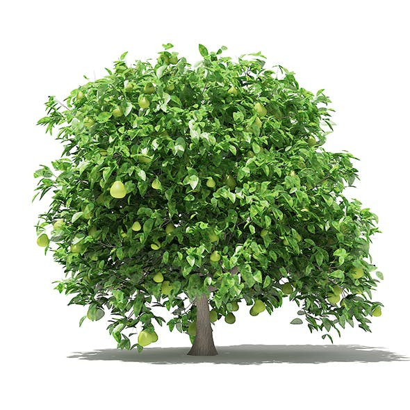 Pomelo Tree with Fruits 3D Model 2.4m