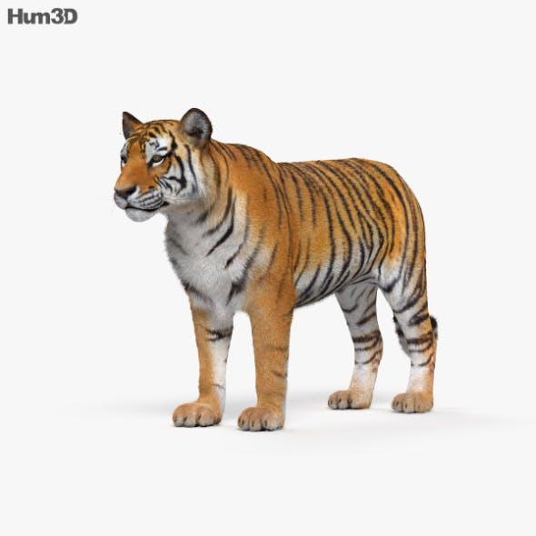 Tiger - 3DOcean Item for Sale