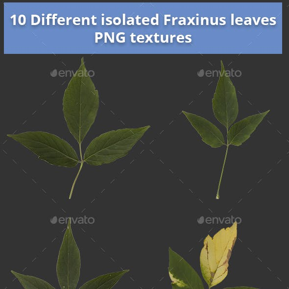 Pack of 10 Isolated Fraxinus Autumn Leaves