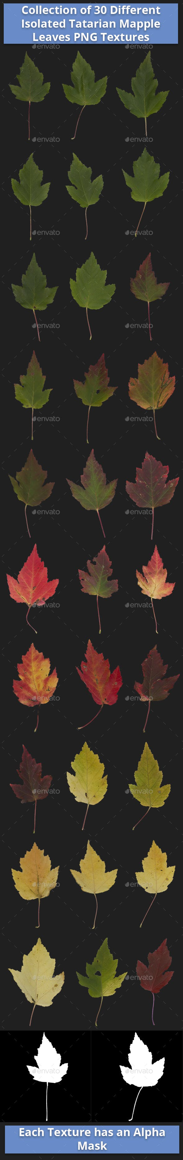 Collection of 30 Different Isolated Tatarian Mapple Leaves Textures - 3DOcean Item for Sale