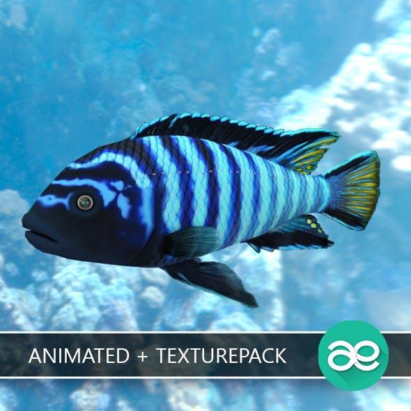Pseudotropheus Demasoni fish