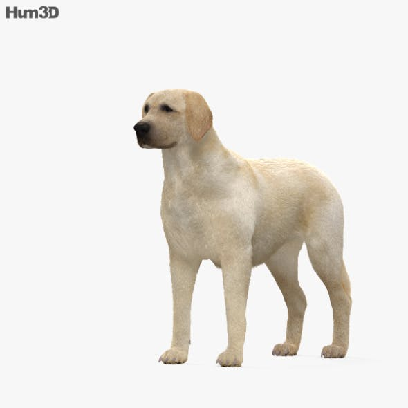 Labrador Retriever HD