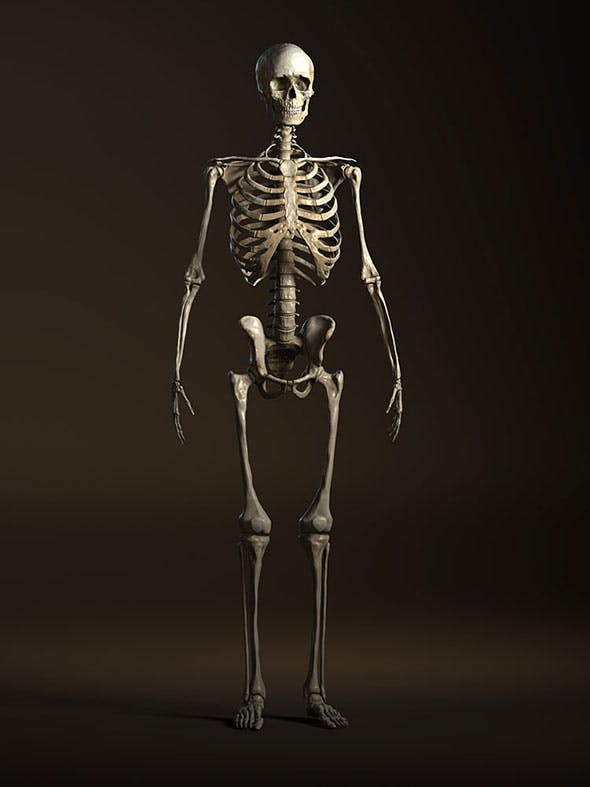 Human Anatomy Skeleton - 3DOcean Item for Sale