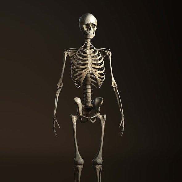 Human Anatomy Skeleton