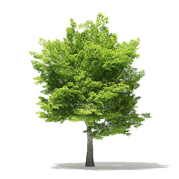 American Hornbeam 3D Model 6m - 3DOcean Item for Sale