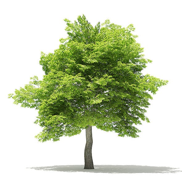 American Hornbeam 3D Model 8.3m - 3DOcean Item for Sale