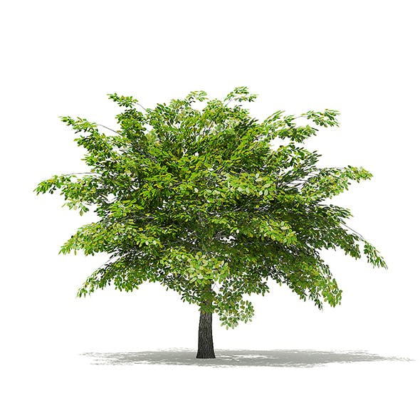 Scotch Elm 3D Model 4m - 3DOcean Item for Sale