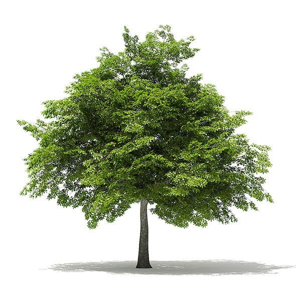 Scotch Elm 3D Model 6.8m - 3DOcean Item for Sale
