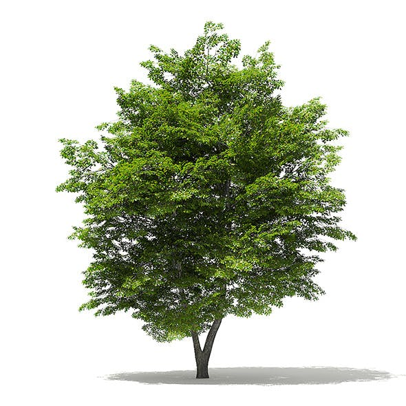 Scotch Elm 3D Model 9m