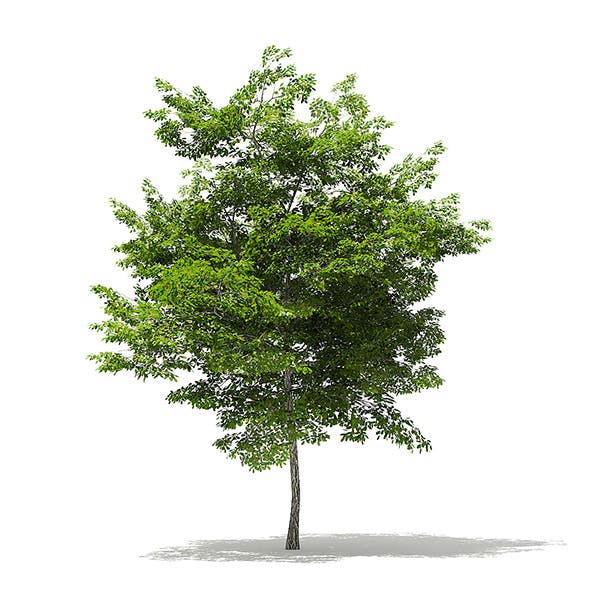 Scotch Elm 3D Model 6.8m