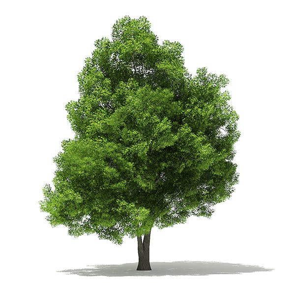 Pin Oak 3D Model 19.5m - 3DOcean Item for Sale