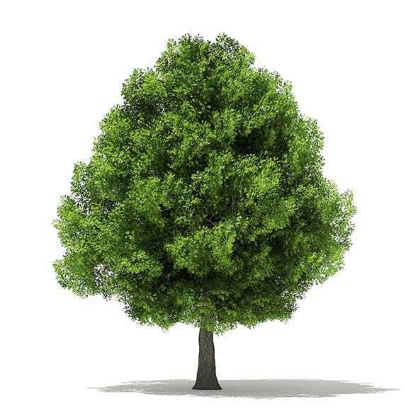 Pin Oak 3D Model 13.6m - 3DOcean Item for Sale